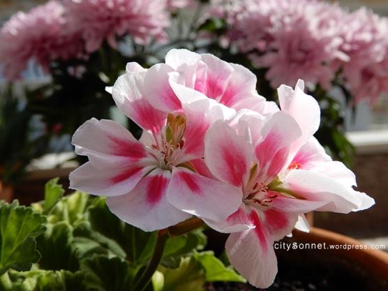 geranium26