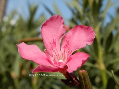 oleander4