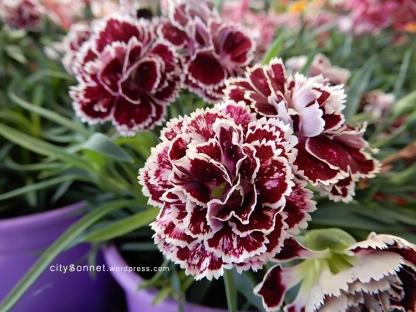 carnation16