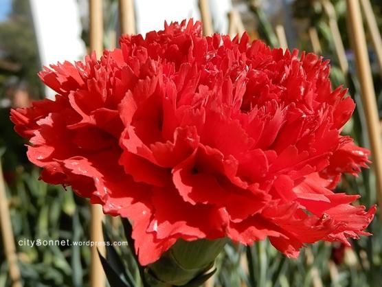 carnation20