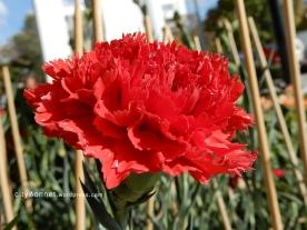 carnation21