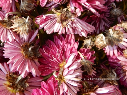 chrysanthemum37