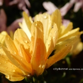 chrysanthemum45