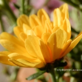 chrysanthemum46