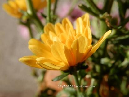 chrysanthemum47
