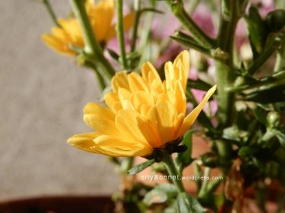 chrysanthemum48