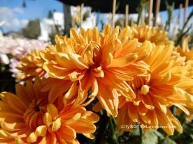 chrysanthemum49