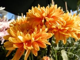 chrysanthemum50