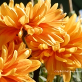 chrysanthemum51