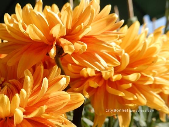 chrysanthemum51