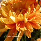 chrysanthemum52