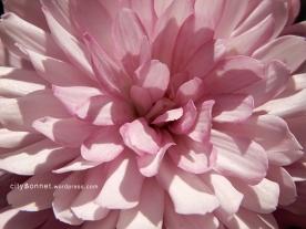 chrysanthemum53