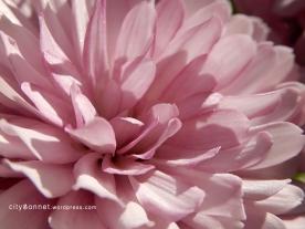 chrysanthemum54