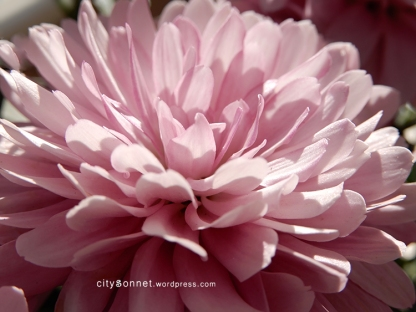 chrysanthemum55