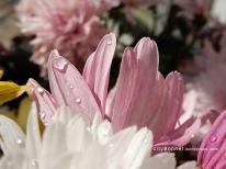 chrysanthemum56