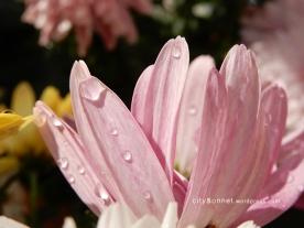 chrysanthemum57