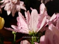 chrysanthemum63