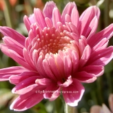 chrysanthemum67