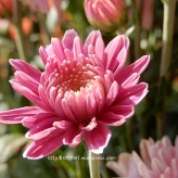chrysanthemum68