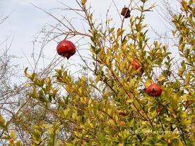 pomegranate4