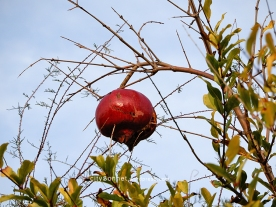 pomegranate5
