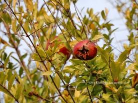 pomegranate7