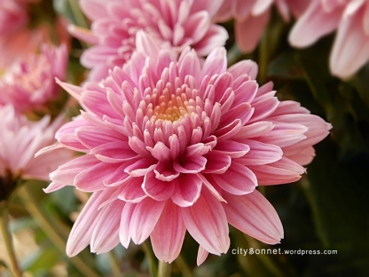 chrysanthemum70
