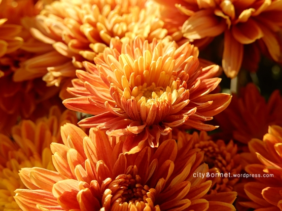 chrysanthemum71