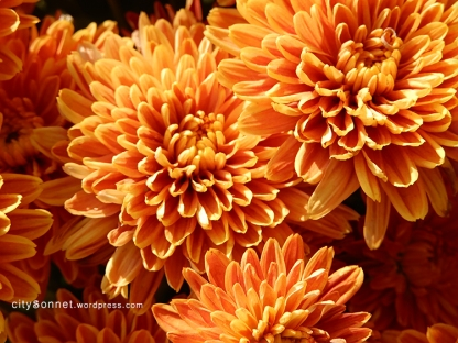 chrysanthemum72