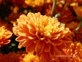 chrysanthemum74