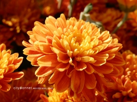 chrysanthemum75