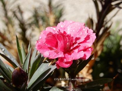 carnation25