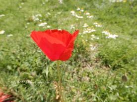 redpoppy1
