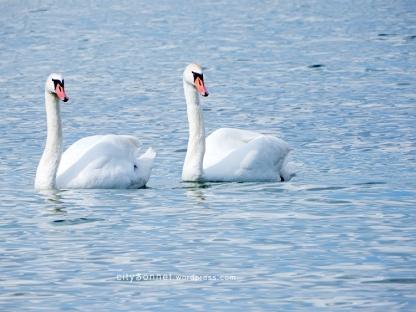 swans12