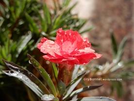 carnation27