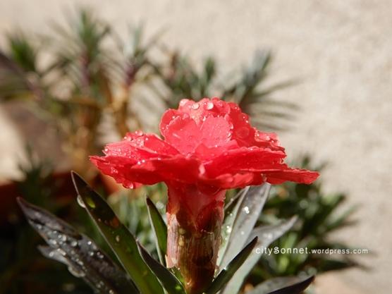 carnation28