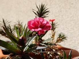 carnation29