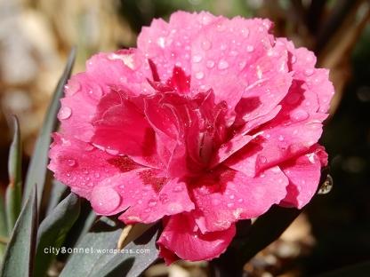 carnation30