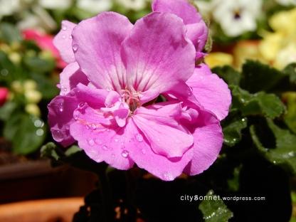 geranium30