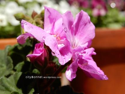 geranium33
