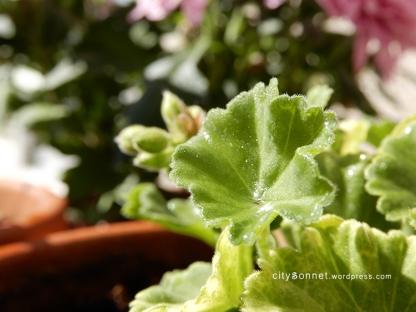 geranium6