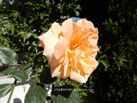 rose5