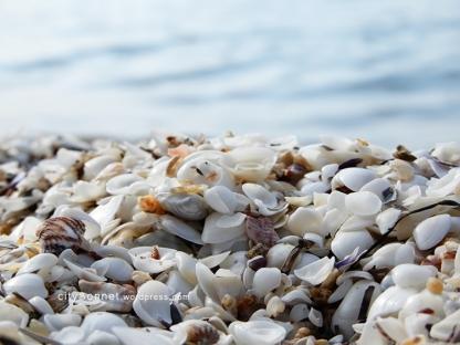 seashells19