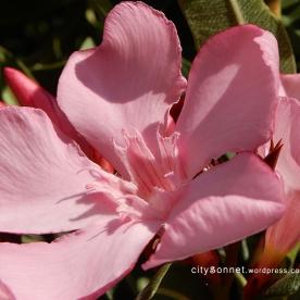 oleander10