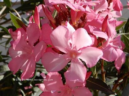 oleander3