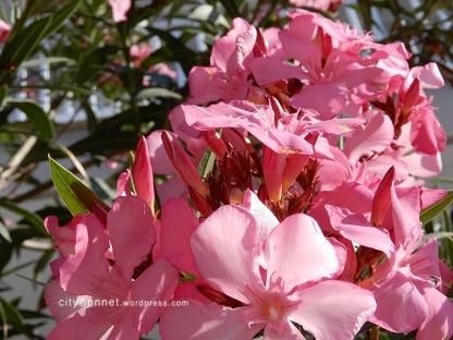 oleander5