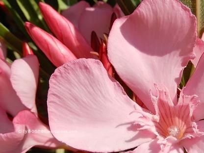 oleander6