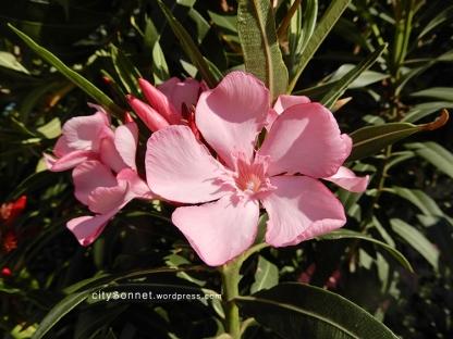 oleander8
